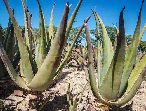 Die Pflanze Aloe Vera Barbadensis Miller